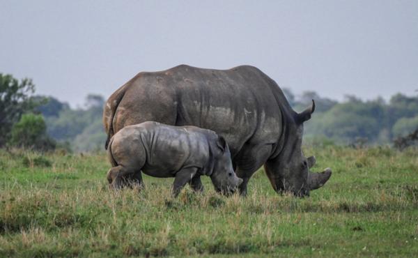 Legalizar el comercio de cuernos de rinocerontes