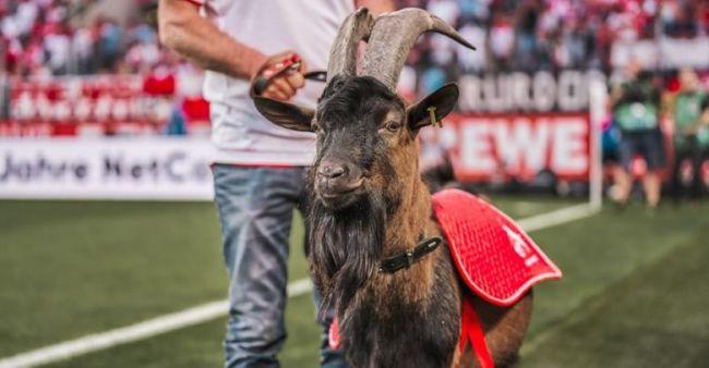La cabra del Colonia se perderá mañana su primer partido en 12 años