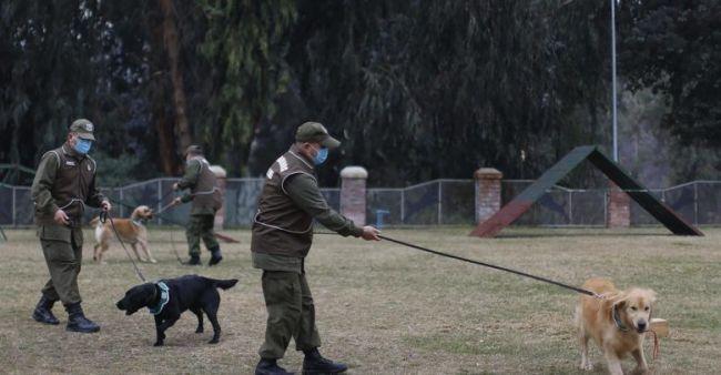 Chile comienza a adiestrar a perros para que detecten a contagiados de coronavirus